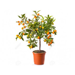 Delightful Kumquat Tree (100 Cm)
