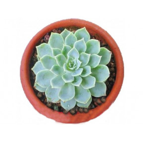 Potted Succulent 5