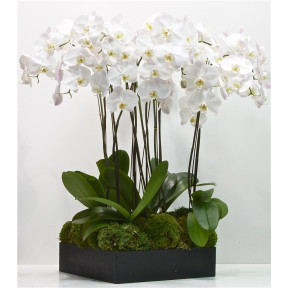 6 Luxury Orchids In A Square Gift Box