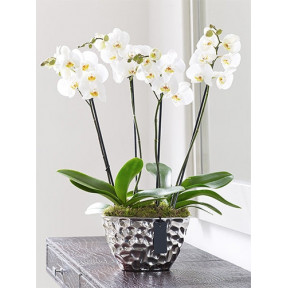Phalaenopsis Orchid Gift With Silver Pot