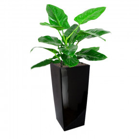 Philodendron 'Imperial Green' In Gq4 Pot (L28Cmxw28Cmxh55Cm)