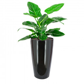 Philodendron 'Imperial Green' In Hg-3301 Pot (Ø33Cmxh57Cm)