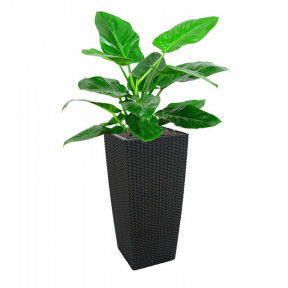 Philodendron 'Imperial Green' In Tb-04 Pot (L28Cmxw28Cmxh55Cm)