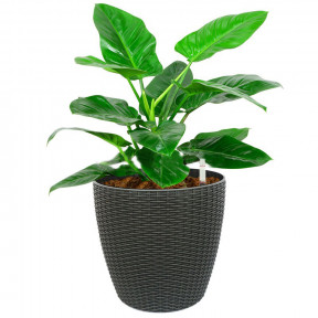 Philodendron 'Imperial Green' In Tb-3102A Pot (Ø28Cmxh26Cm)