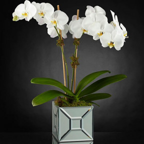 Elegant Luxury Orchid
