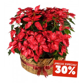 Large Basket Of 6 Red Marbled Poinsettias