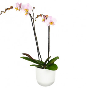 Send Pink Orchid With Pot Blombud