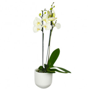 Send White Orchid With Pot Blombud