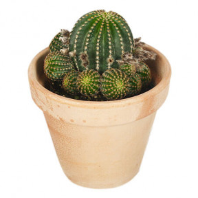 Send Cactus with pot blombud