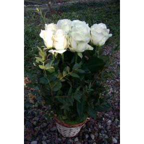 11 White Roses Arrangement in a Basket