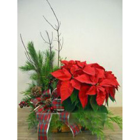 Red Poinsettia Plant in a Basket & Seasonal greens
