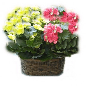 Begonia bis (Small)