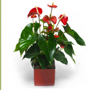 Anthurium Exotic Plant
