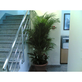Arecca plant with 3 small plants