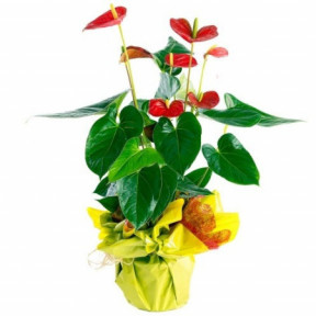 Anthurium potted plant