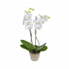 White Phalaenopsis orchid - double stemmed plant