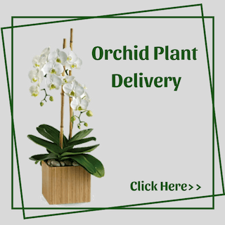 Orchids Plants Delivery