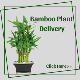 Bamboo Plants Delivery